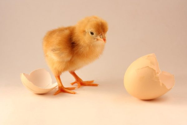 ebs functional consultant chick egg